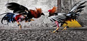 Situs S128 Live Streaming Sabung Ayam Online Resmi Indonesia